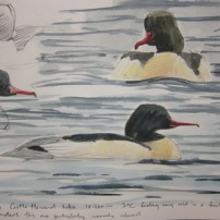 Drake Goosander- watercolour in sketchbook