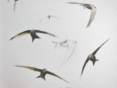 Swift studies- watercolour in sketchbook