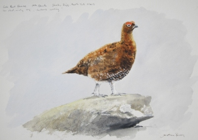 Cock Red Grouse