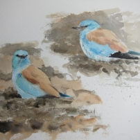 Studies of European Roller on tilled field- watercolour in sketchbook. Copyright Jonathan Pomroy 2012.