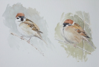 Tree Sparrow studies- watercolour