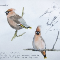 Waxwings- watercolour in sketchbook