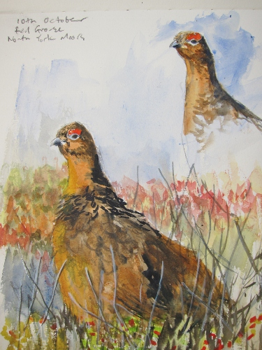 Red Grouse amongst bilberry- watercolour in sketchbook