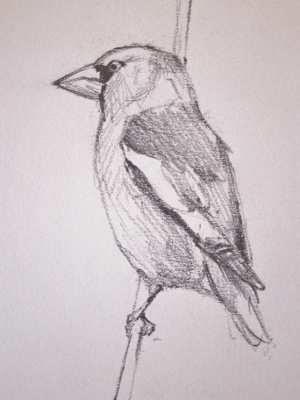 Hawfinch- pencil in sketchbook