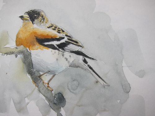 Male Brambling- watercolour in sketchbook
