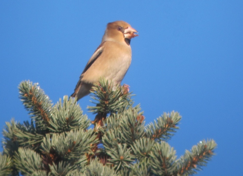 Hawfinch- Ampleforth 2/2/13