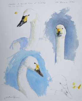 Bewick's Swans head studies. Watercolour. Available at Birdscapes Gallery, Norfolk.