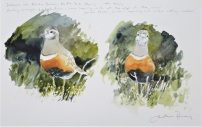 Dotterel studies. Available at Birdscapes.