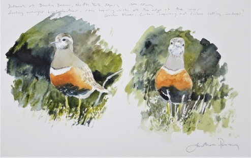 Dotterel studies. Available at my studio £350