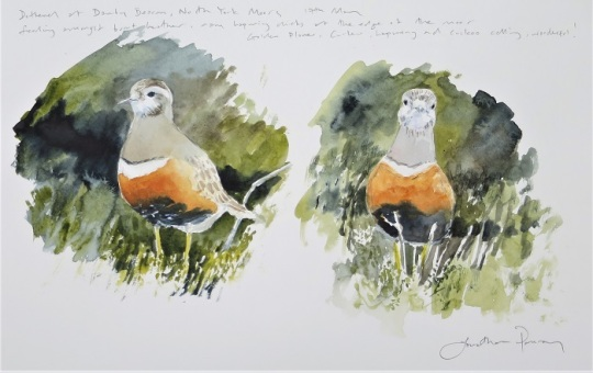 Dotterel studies. Watercolour. Available at my studio. £375