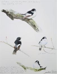 Pied Flycatcher studies. Watercolour. SOLD