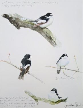 Pied Flycatcher studies. Watercolour. SOLD