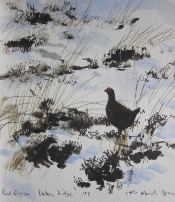 Red Grouse in snow covered heather- watercolour in sketchbook