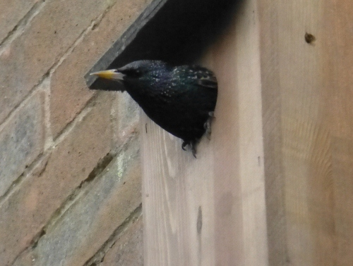 Starling in nestbox- 12th April