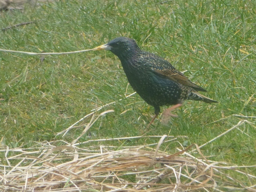 Starling gathering nest material- 13th April