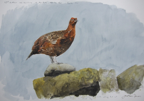 Cock Red Grouse, North York Moors- watercolour