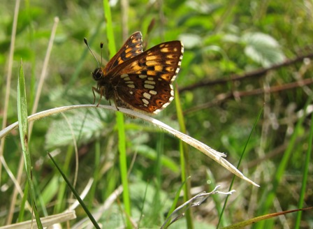 Duke of Burgundy fritillary- copyright Jonathan Pomroy 2013