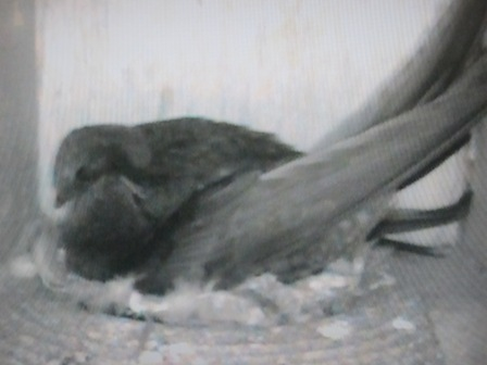 Swift pair mutually preening each other- 15th June.