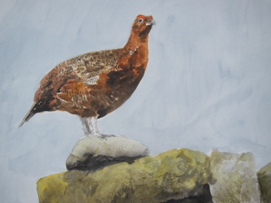 Red Grouse- watercolour