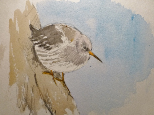 Purple sandpiper resting on rocks- watercolour in sketchbook