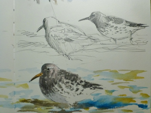 Purple Sandpiper- watercolour in sketchbook