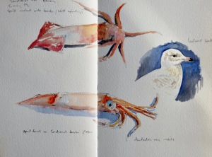 Squid and Iceland Gull, Sandsend, Whitby- watercolour in sketchbook
