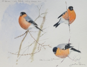 Studies of bullfinch feeding