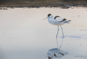 Avocet at Cley, Norfolk