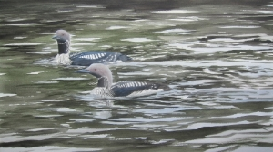 Black- throated divers