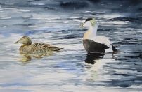 Drake Eiders displaying. Available at Birdscapes, Norfolk.