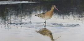 Black- tailed godwit at Slimbridge. SOLD