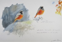 Eastern- black redstart. Available from my studio.