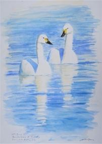 Bewick's Swans. SOLD