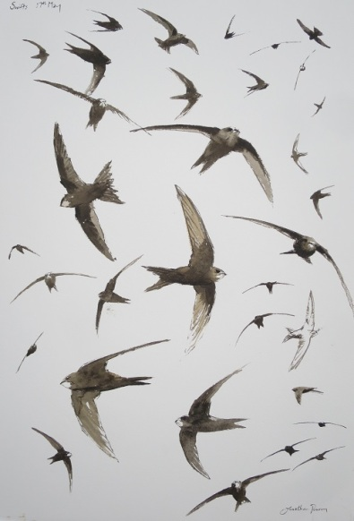 Swift studies. Available at Birdfair 2018.