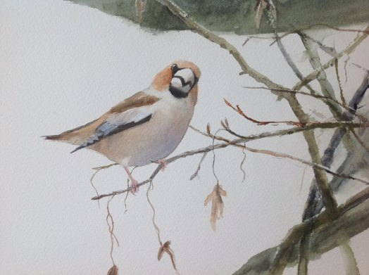 Hawfinch. Watercolour £275 unframed, at my studio.