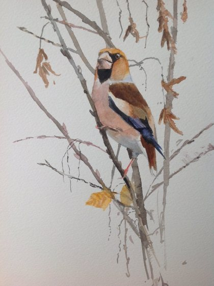 Hawfinch at Yorkshire Arboretum. Watercolour SOLD