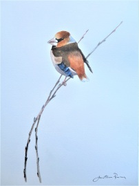 Hawfinch at Yorkshire Arboretum. Watercolour £275 unframed, at my studio.