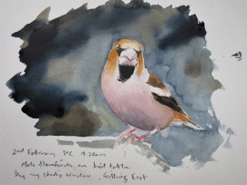 Hawfinch watercolour sketch. Available at Birdscapes, Norfolk.