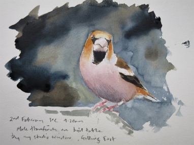 Hawfinch watercolour sketch. SOLD