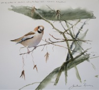 Hawfinch on hornbeam. Available at Birdscapes, Norfolk.