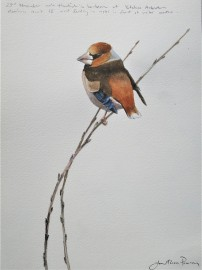 Male Hawfinch. Available at Birdscapes, Norfolk.