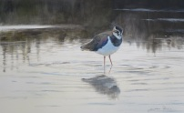 Lapwing study. SOLD