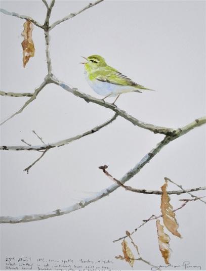 Wood Warbler singing. SOLD