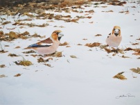 Hawfinches in snow. Available at Birdscapes Norfolk.