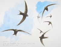 Swift studies. Available at Birdscapes.