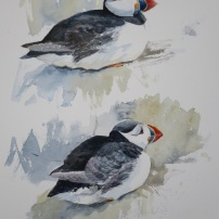 Puffin studies. Watercolour.