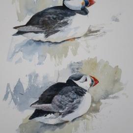 Puffin studies. Watercolour. At Nunnington Galleries.