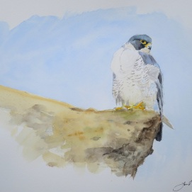 Peregrine at Scarborough. Watercolour. Available in SHOP.