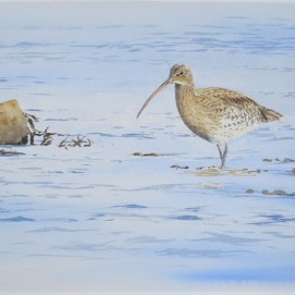 Curlew feeding. Watercolour. Available in SHOP.