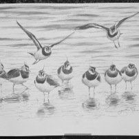 Lapwing flock in winter. Large charcoal study. Available at my studio.